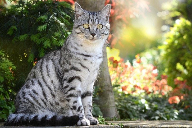 British Shorthair cat_Rebekka D, Pixabay