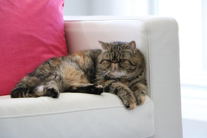 Shorthair cat_Robyn Randell, Pixabay