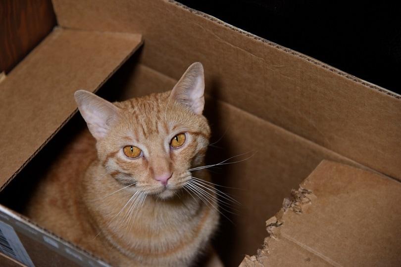 Orange-cat-in-a-box-_Wild-as-Light_shutterstock