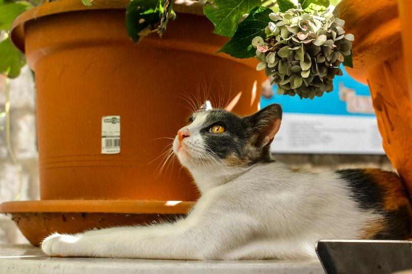 calico cat lying outdoor_user32212, Pixabay