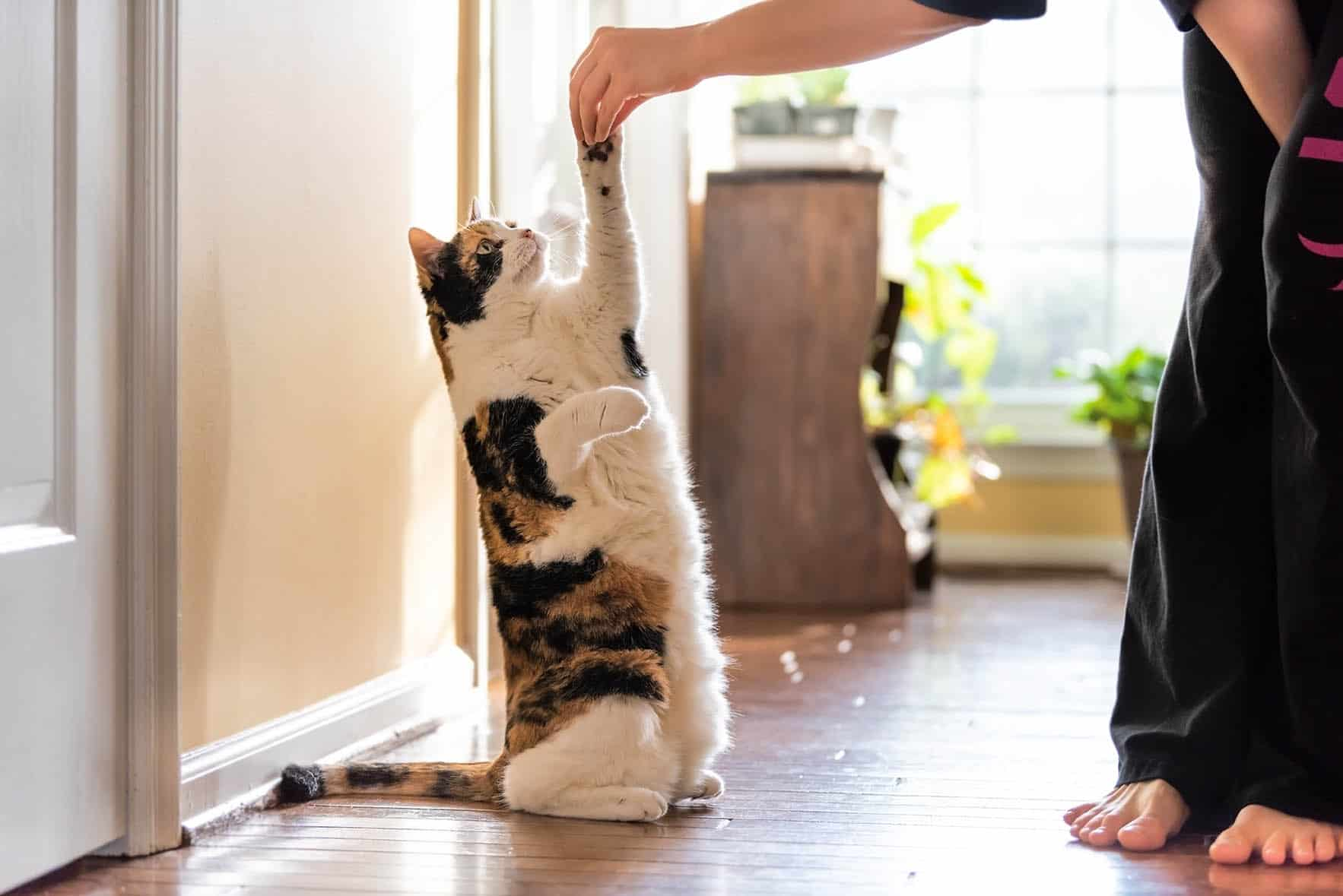 calico cat standing up_Andriy Blokhin, Shutterstock