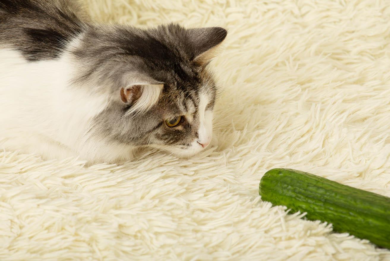 cat and cucumber