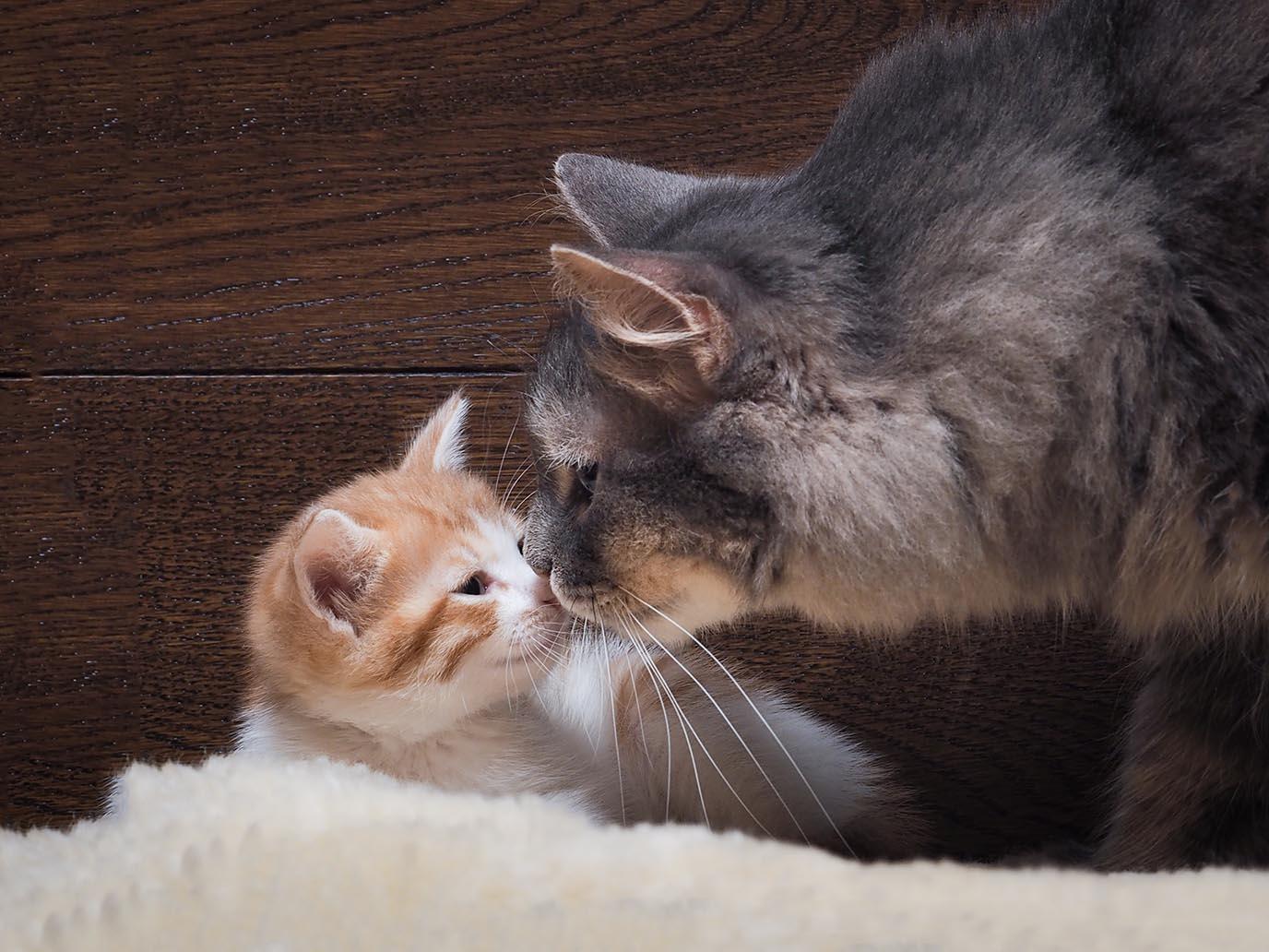 cat smelling kitten