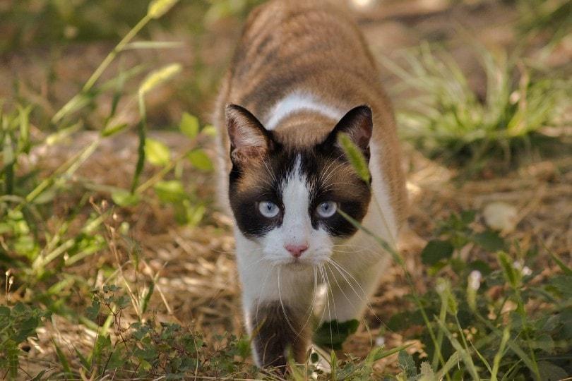 cat walking in the wild_caligari77, Pixabay
