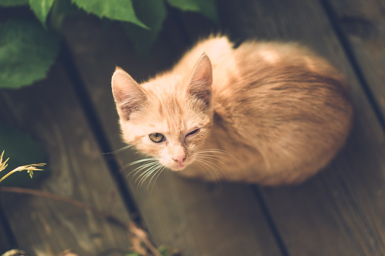 cat with eye injury_Pixabay