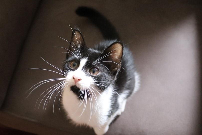 kucing domestik melihat ke atas