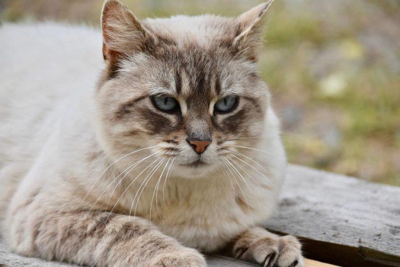 female european cat_Pixabay