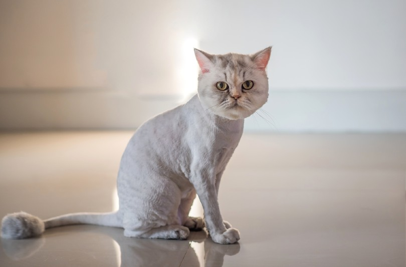 persian cat with a lion haircut style