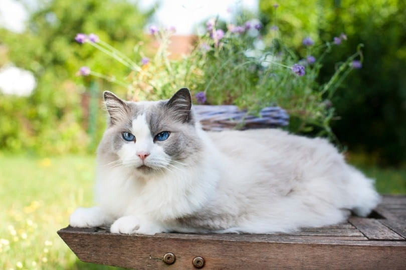 cat lying_absolutimages, Shutterstock
