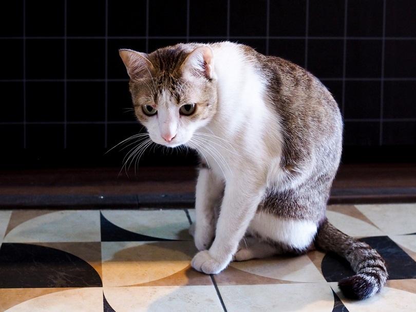 sick-cat-with-feline-disease_Kittima05_shutterstock
