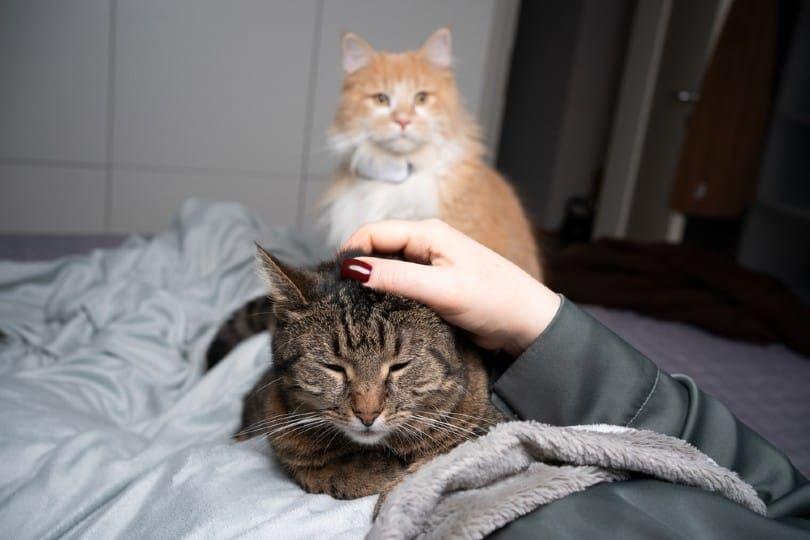 tabby cat_Nils Jacobi, Shutterstock