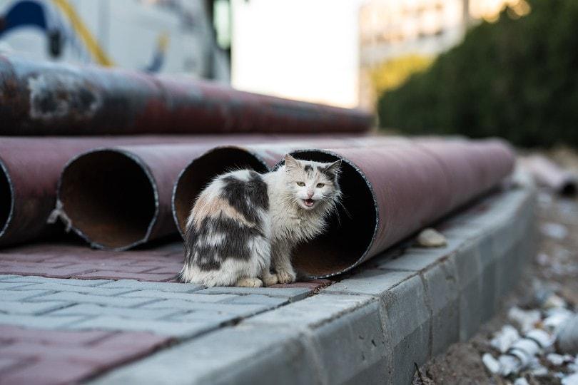 vocal semi-feral cat
