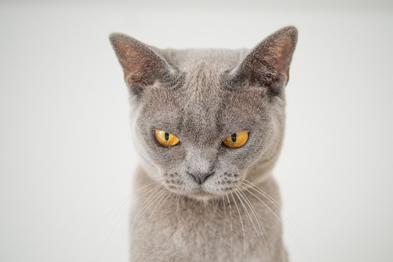 angry cat close up