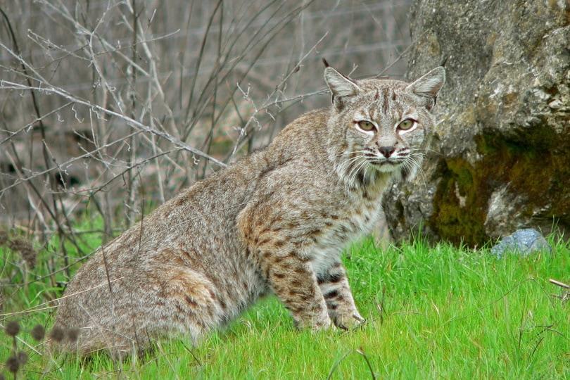 bobcat in wild_Piqsels