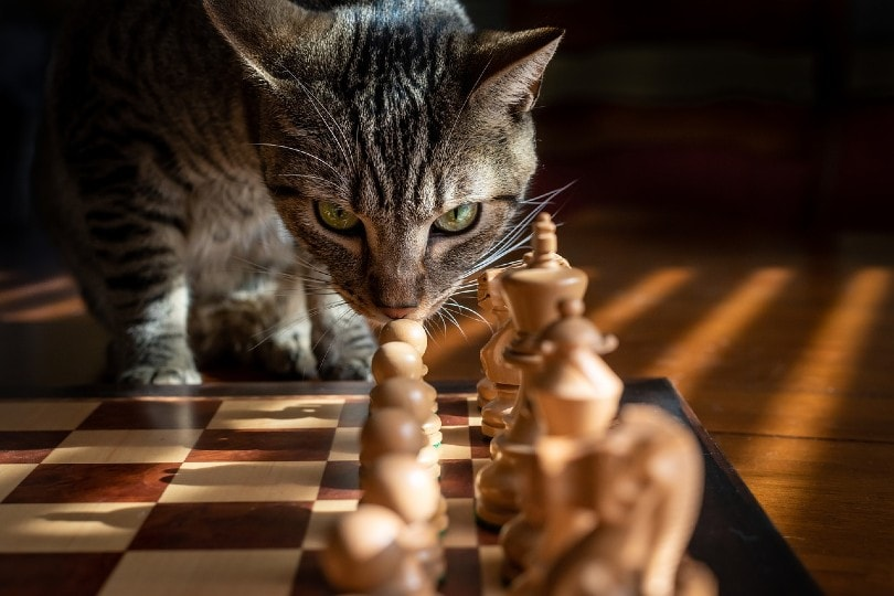 cat looking at chess pieces