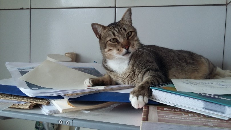 cat lying on the books