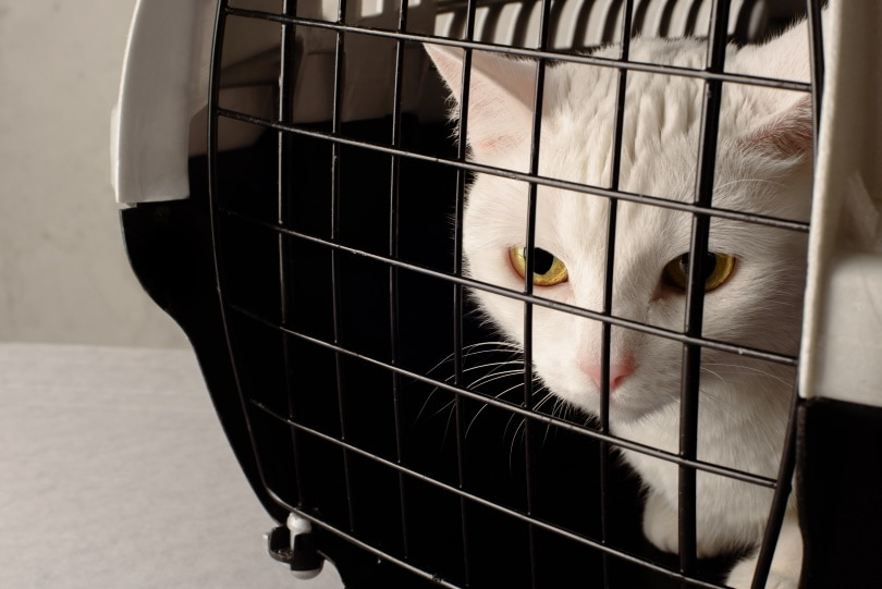 kitten in crate_Evgeniya Tomashevskaya_Shutterstock