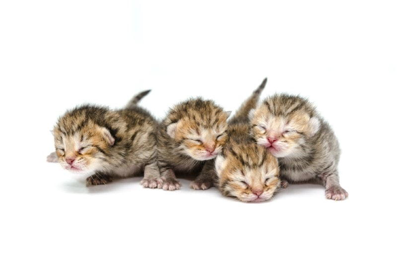 newborn tabby kitten