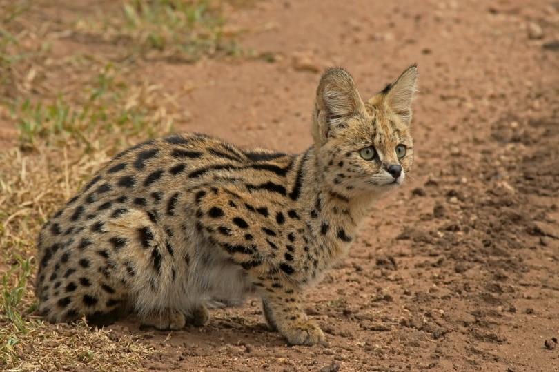 serval cat_Anthony Murtagh_Shutterstock