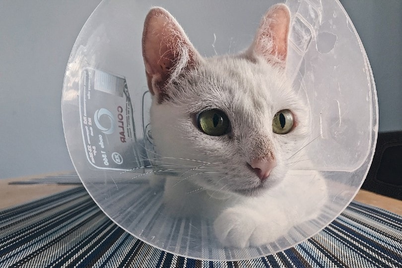 white domestic cat with cone of shame