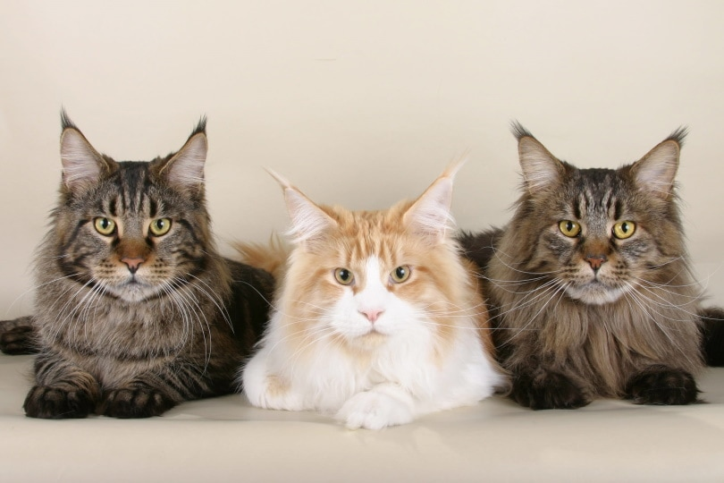 3 maine coons lying on the floor