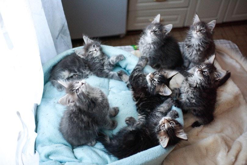 Maine Coon kittens lying ona cat sofa