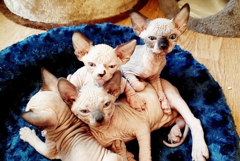 Sphynx kittens on cat sofa