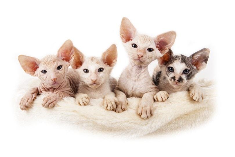 four little Sphynx kittens
