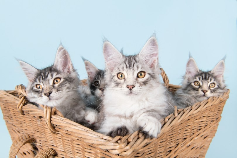 four maine coon kittens in old vintage basket
