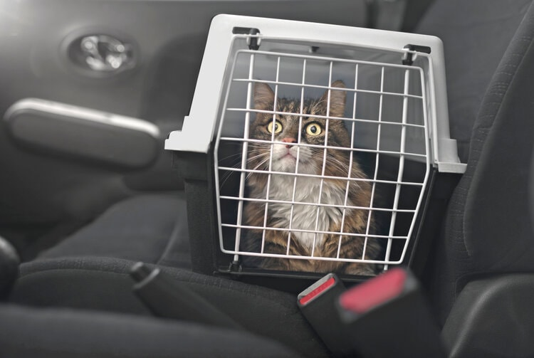 maine coon in car cat carrier