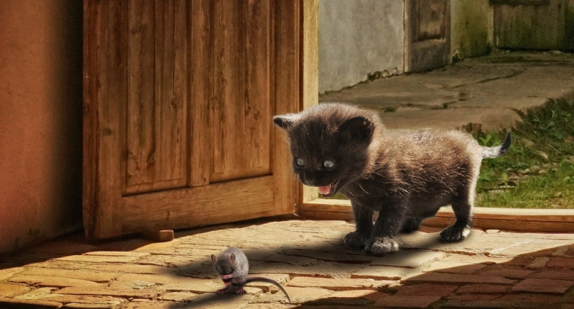 kitten about to pounce on a rat