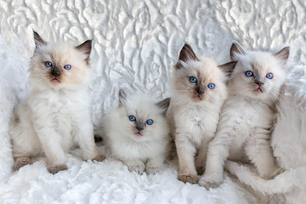 Four Ragdoll kittens