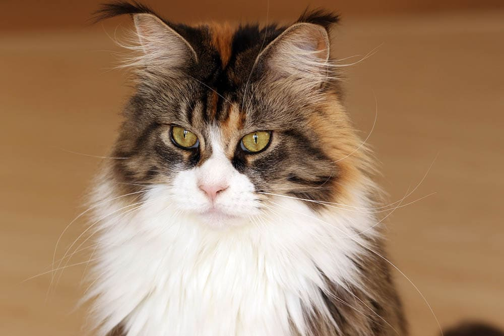 maine coon looking away