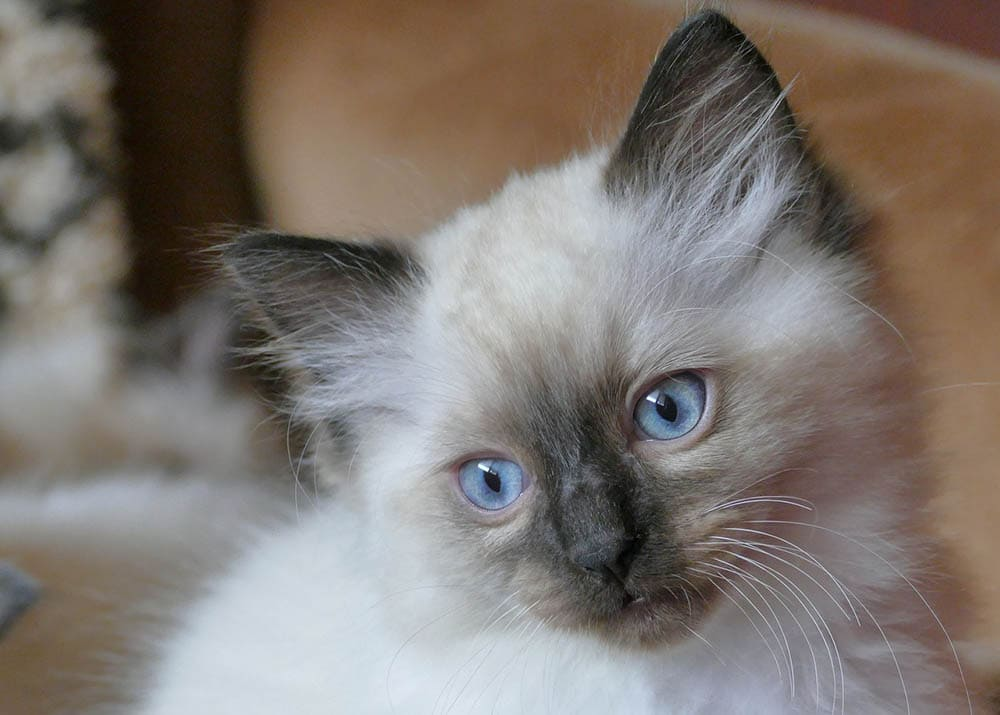 ragdoll kitten close up