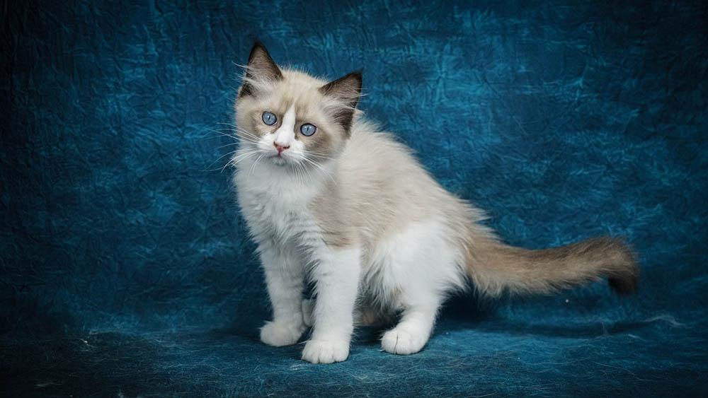 ragdoll kitten in blue background