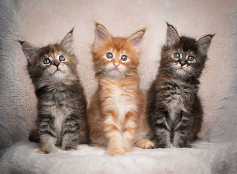 three different colored maine coon kittens